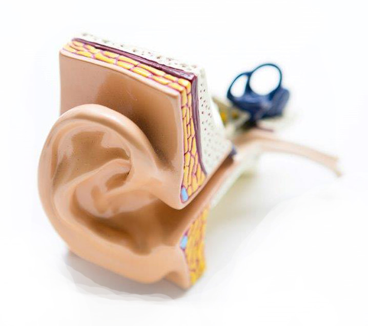 ear model on a white background